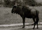 Setswana: Kgokong. English: Blue Wildebeest. Scientific: Connochaetes taurinus