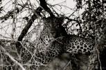 Setswana: Nkwe English: Leopard Scientific: Panthera pardus