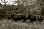 Setswana: Tshikudu English: White Rhinoceros Scientific: Ceratotherium simum