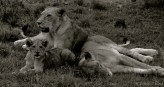 A family of ditau (English: African Lions; Scientific: Panthera leo) enjoy some rest from the sun.