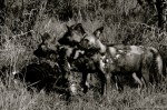 Setswana: Makonyane English: African Wild Dog Scientific: Lycaon pictus