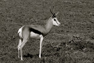 Setswana: Tshepe English: Sprinkbok Scientific: Antidorcas m. marsupialis