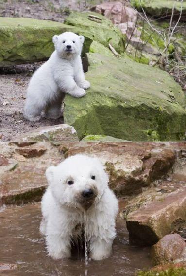 Cachorrito de oso polar