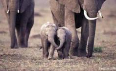 Elefantitos con mama