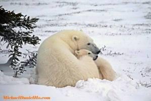 Mamá osa polar y su osezno echados