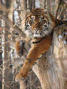 Tigre descansando en un arbol