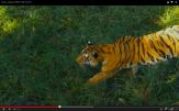 Tigre acechando