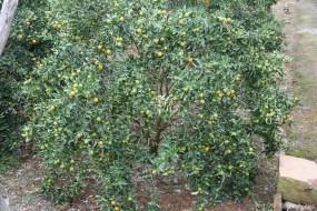 Kumquatbaum.