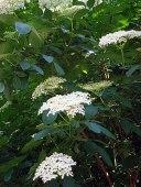 elderberry_490