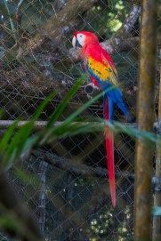 Parrot - Belize Zoo