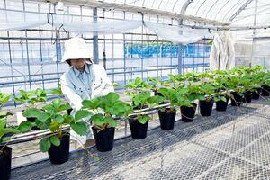 【イチゴ】佐賀の新品種「いちごさん」の苗、盗難相次ぐ…農家困惑「何のため?必要なら苗を買えばいい」 ★2  [ばーど★]