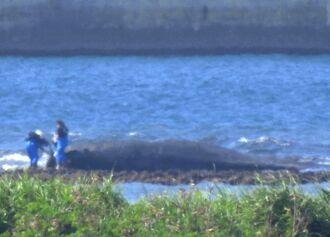 那覇空港の滑走路近くに巨大な死骸