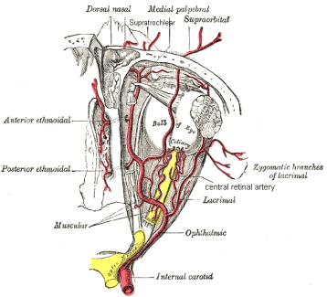 orbital vasculature diagram