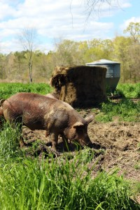 A photo of a hog