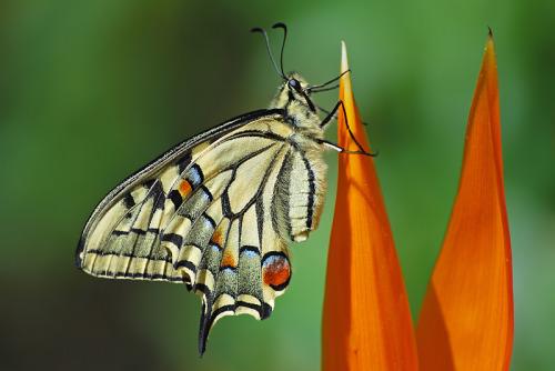 Papilio machaon© adrifil