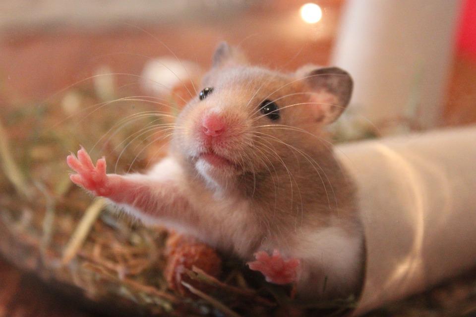 Tiny Cute Hamster