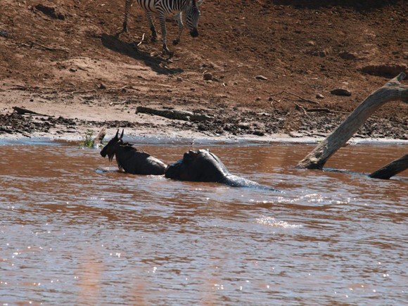 African wildlife - Mother hippo rescues a baby wildebeest in Kenya