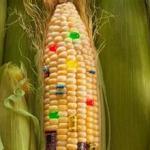转基因玉米