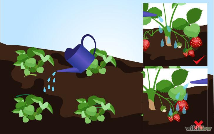 以Grow Strawberries Step 14为标题的图片
