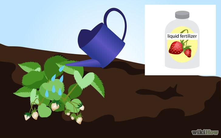 以Grow Strawberries Step 15为标题的图片