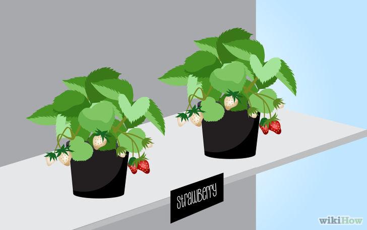 以Grow Strawberries Step 2为标题的图片