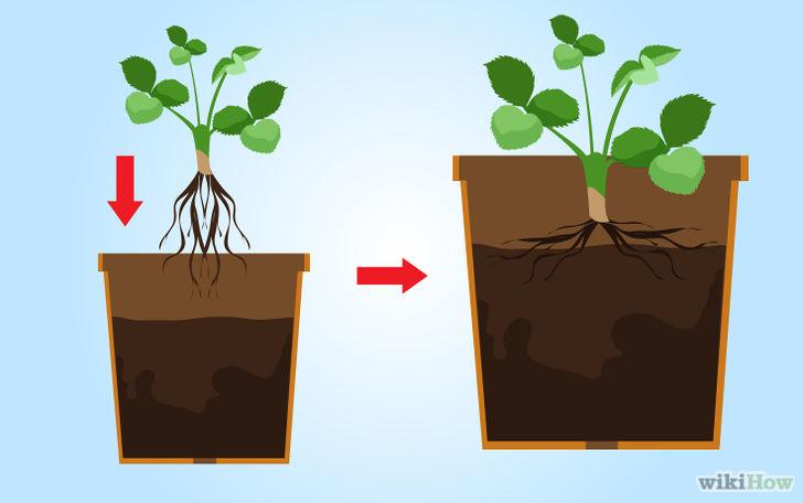 以Grow Strawberries Step 25为标题的图片