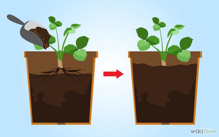 以Grow Strawberries Step 26为标题的图片