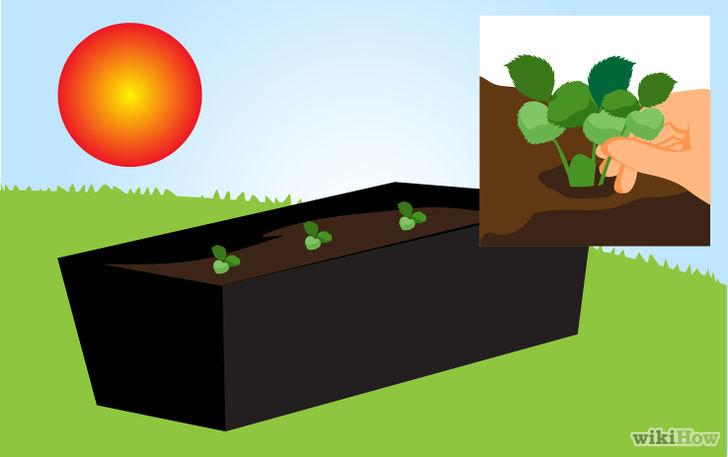 以Grow Strawberries Step 39为标题的图片