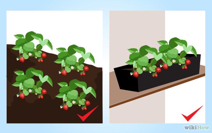 以Grow Strawberries Step 4为标题的图片