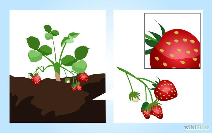 以Grow Strawberries Step 6为标题的图片