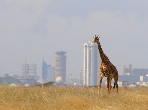 a giraffe in Nairobi National Park on a hot sunny day with the city skyline in the background