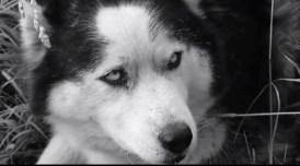 Grey Wolf-Hitler