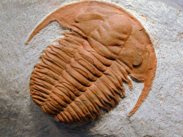 Vědci objevují jídelníček  historických dravců. V prvohorách velmi rozšíření trilobiti byli  pravděpodobně častou potravou tehdejších predátorů. Svědčí o tom nález zkamenělých zbytků trilobitů ve střevě  fosilizovaného mořského živočicha, pocházejícího z doby před 510 miliony let. 0 hojném pojídání trilobitů dravci svědčí i dřívější nálezy podivných poškození schránek zkamenělých trilobitů, které odpovídá ústnímu ústrojí prvohorního predátora zvaného Anomalocarus.