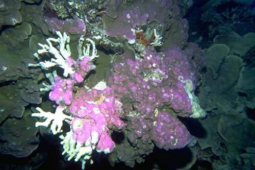Nejnovější laboratorní testy právě potvrdily, že tým amerických odborníků před dvěma lety u pobřeží jižní Kalifornie opravdu objevil nový druh korálu.