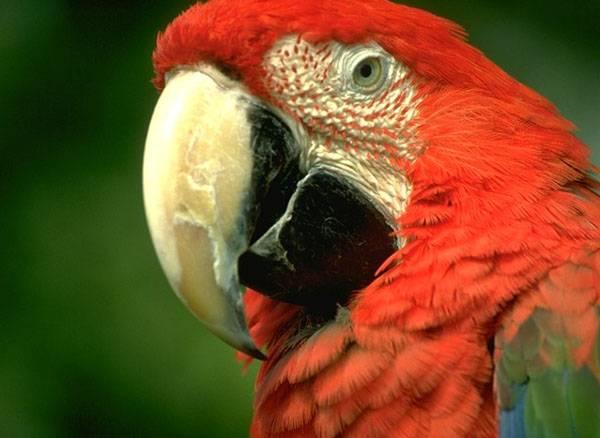 Papoušci dlouhodobě patří mezi oblíbené domácí mazlíčky zejména kvůli svému krásnému pestrobarevnému peří. Vědci už nyní přesně znají příčiny jeho červeného zabarvení.