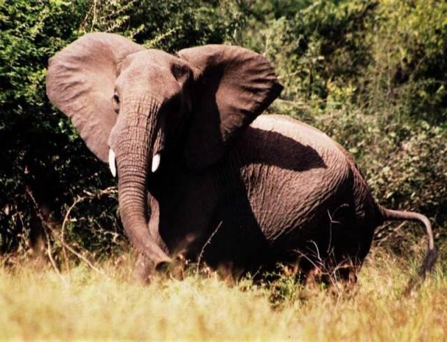 Vědci nedávno odhalili, že sloni disponují jednou u živočichů velmi neobvyklou schopností. Dokáží totiž výborně imitovat některé zvuky.