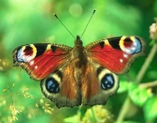 """Motýli nepoletují po zahradách zcela bezcílně, jak se doposud předpokládalo. Nejnovější studie britských vědců prokázala, že naopak mají přesné """"letové dráhy""""."""