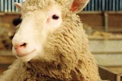 Maso klonovaných zvířat má srovnatelnou kvalitu s tím od normálních živočichů. Vyplývá to z právě zveřejněné studie amerických a japonských odborníků.