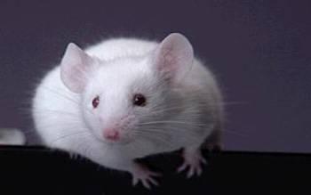 Vědecký tým z univerzity ve Washingtonu možná našel klíč k dlouhověkosti. Laboratorním myším nyní dokázal podstatně prodloužit život!