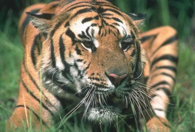 Indie oznámila, že do konce letošního roku postaví rezervaci pro stárnoucí tygry, kteří už sami nedokážou lovit ve volné přírodě.