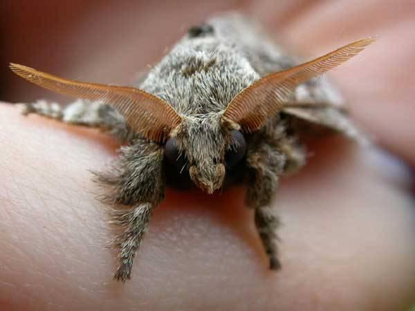 """Feromony jako past? Vědci se chystají oklamat hmyz Sameček přástevníka bourovce je schopen """"ucítit"""" samičku na vzdálenost více než jednoho kilometru, pokud zachytí na svých vějířovitých tykadlech alespoň jednu molekulu tzv. feromonu, který samička vylučuje."""