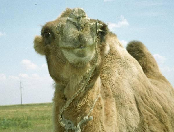 První závod robotů na velbloudech se v uplynulých dnech za velké pozornosti médií i místních obyvatel uskutečnil ve Spojených arabských emirátech.