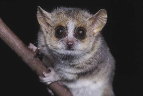 Rovnou dva nové druhy lemurů objevili v těchto dnech němečtí a švýcarští biologové na Madagaskaru. Počet dosud známých druhů těchto ohrožených zvířat se tak zvýšil na 49.