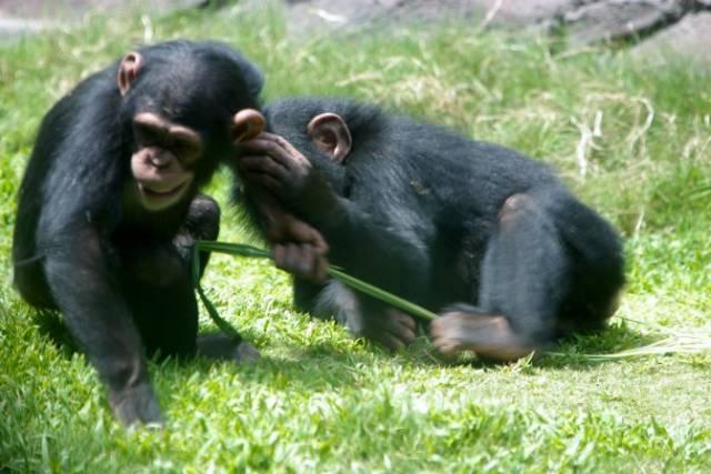 Šimpanzi žijící ve volné přírodě mohou být praváci i leváci stejně jako lidé. Vyplývá to z nejnovějšího výzkumu amerických odborníků.