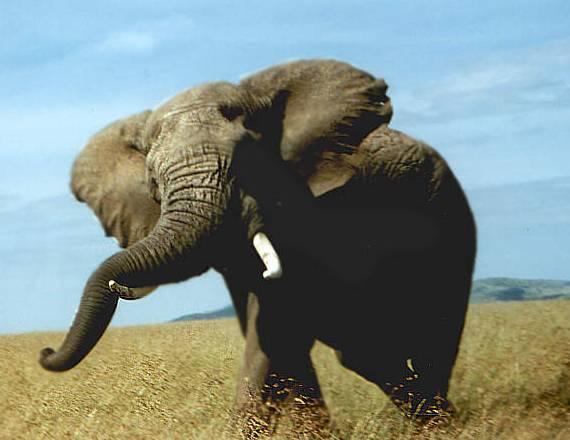 Někteří obyvatelé Afriky přišli na svérázný způsob, jak mohou účinně zabránit nájezdům hladových slonů nebo buvolů na vlastní úrodu.
