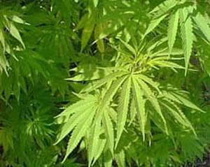 Australští odborníci v uplynulých dnech identifikovali na základě analýzy DNA nový druh konopí. Provizorně ho pojmenovali Cannabis sativa rasta.