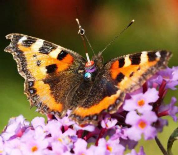 Představte si, že se procházíte po rozkvetlé louce a najednou kolem vás proletí motýl nebo včela s anténkou na zádech. Že to není reálné? Možná u nás ne, ale ve Velké Británii ano!