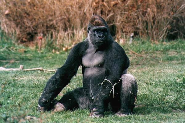 Gorily ve volné přírodě záměrně používají nástroje! Vyplývá to z nejnovější studie amerických odborníků z Wildlife Conservation Society.