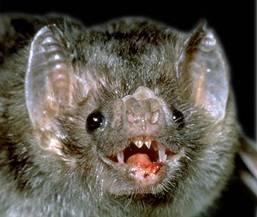 Od září netopýři v Brazílii pokousali přes tisíc lidí. Útočí v noci. Zakousnou se do měkkých tkání a začnou sát krev. Při tom svou  oběť infikují virem způsobujícím vzteklinu. Dosud zemřelo již 23 lidí, z toho osmnáct dětí.