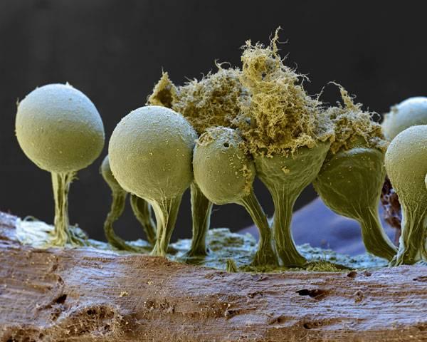 Hlenky jsou nepatrné organismy, s nimiž si biologové dosud nevědí příliš rady a stále váhají, zda je zařadit k živočichům, či rostlinám.